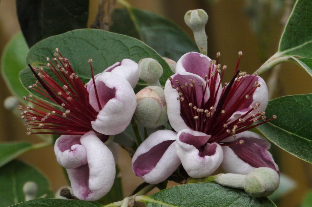 20121106_0946_4468 pineapple guava