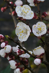 20120903_1107_2821 apricot blossom