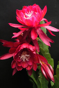 20121128_0722_5960 epiphyllum  昙花