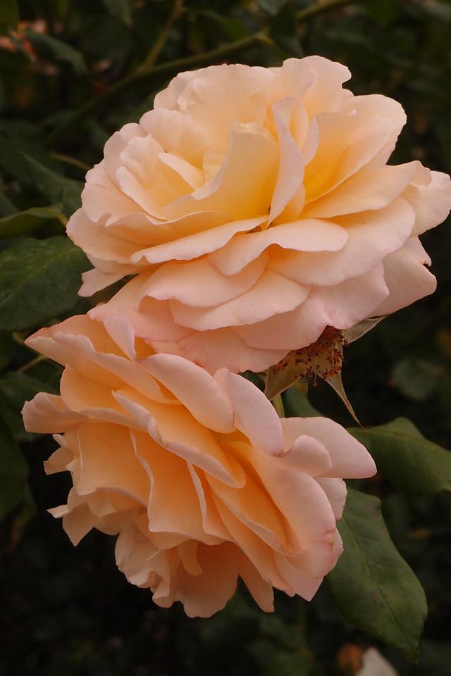 20121117_1102_7211 rose