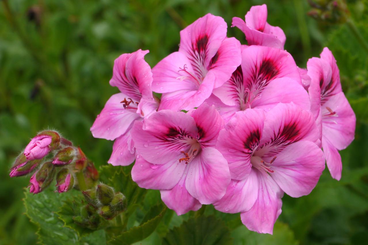 20121011_1425_3934 geranium