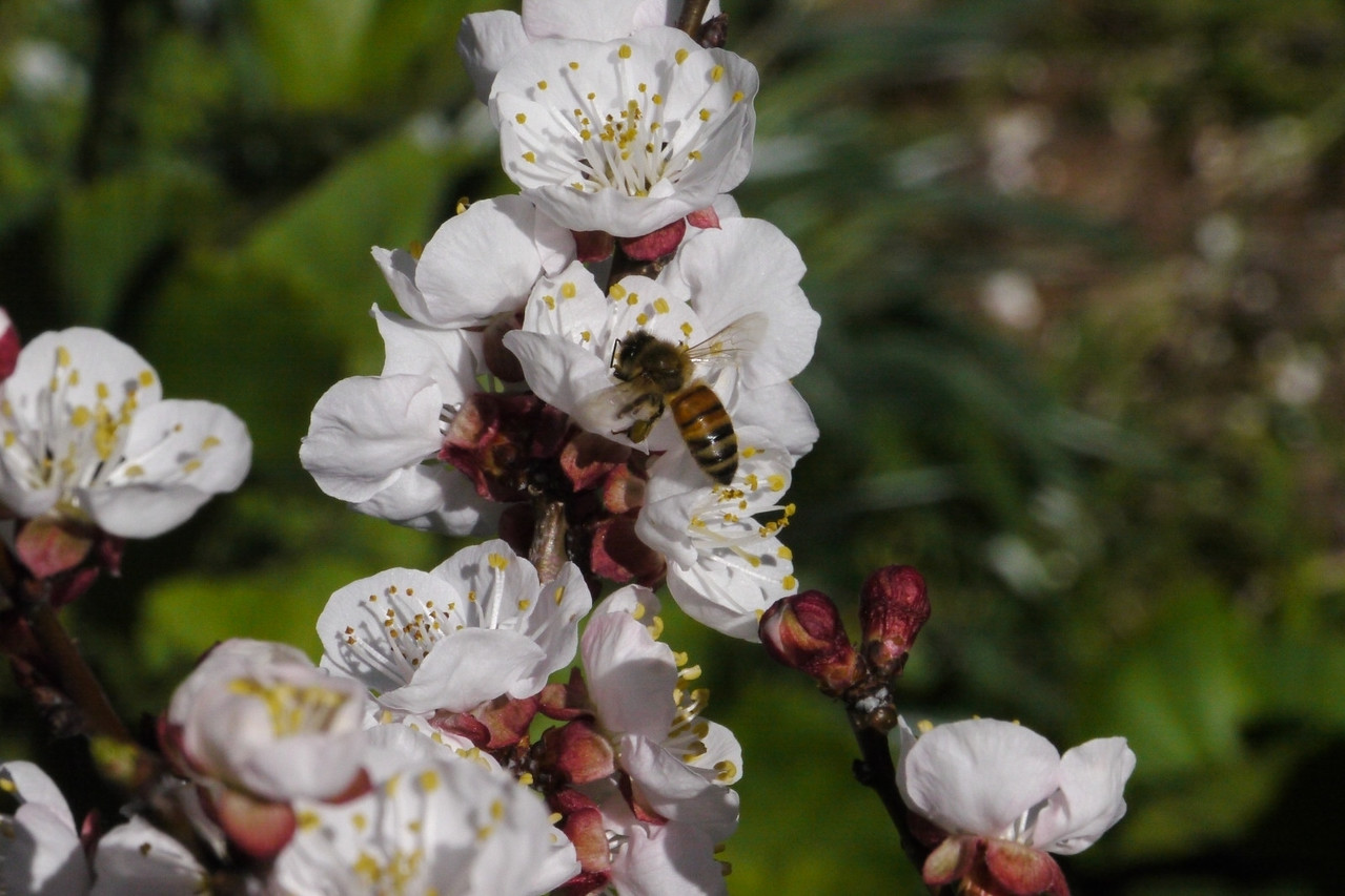 20120903_1350_2846 apricot blossom