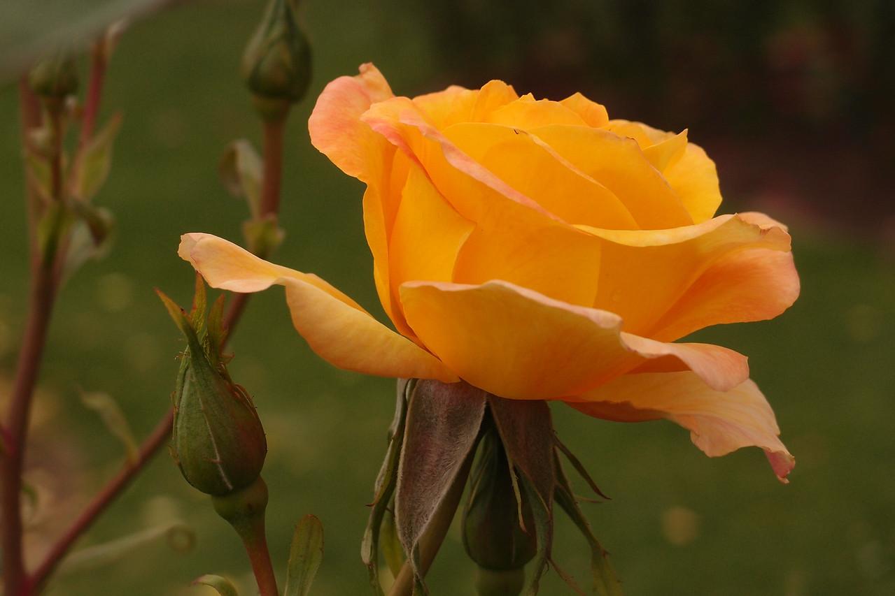 20121117_1030_7192 rose