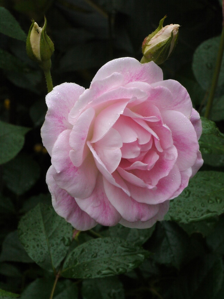20121027_0716_4287 rose