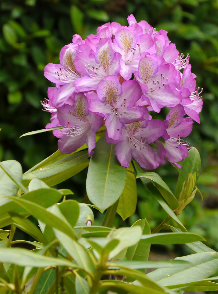 20121028_0812_4309 rhododendron