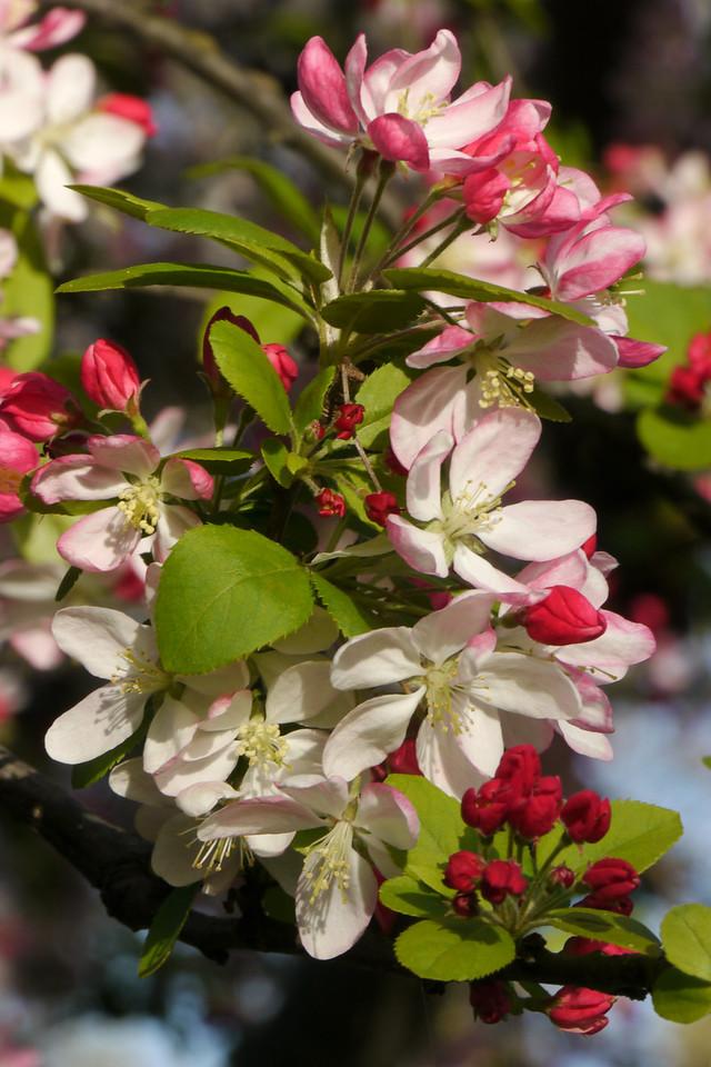 20120911_1640_3266 crabapple blossom