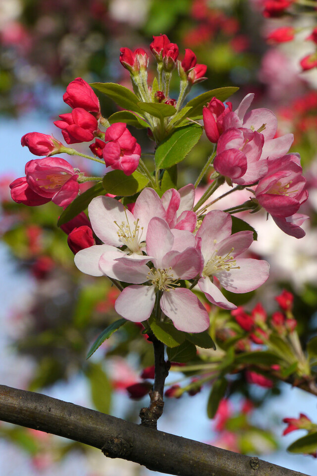 20120911_0809_3186 crabapple blossom