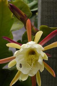 20121124_1604_5698 epiphyllum 昙花 and bee