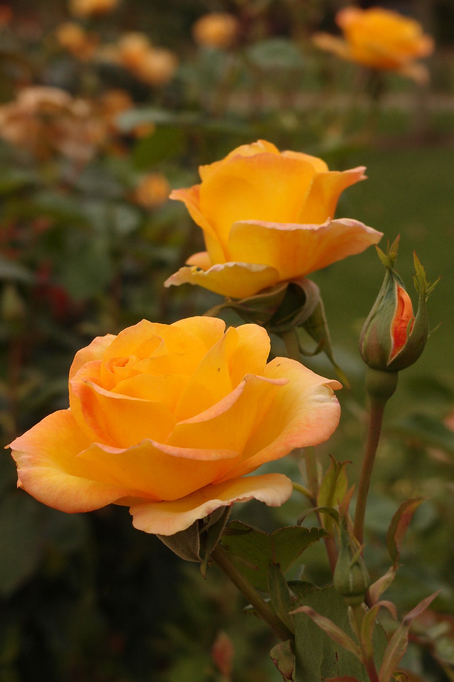 20121117_1030_7191 rose