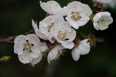 20120905_0747_3056 apricot blossom