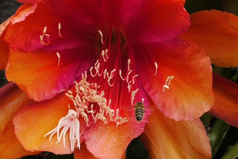 20121122_0758_5434 bee and epiphyllum 昙花