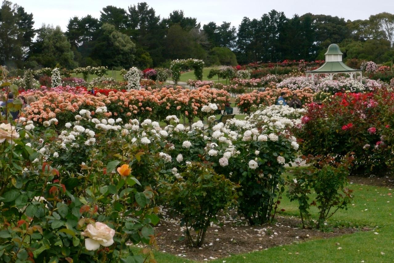 20121117_1040_4823 State Rose Garden, Werribee
