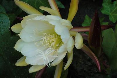 20121129_0834_5999 epiphyllum 昙花