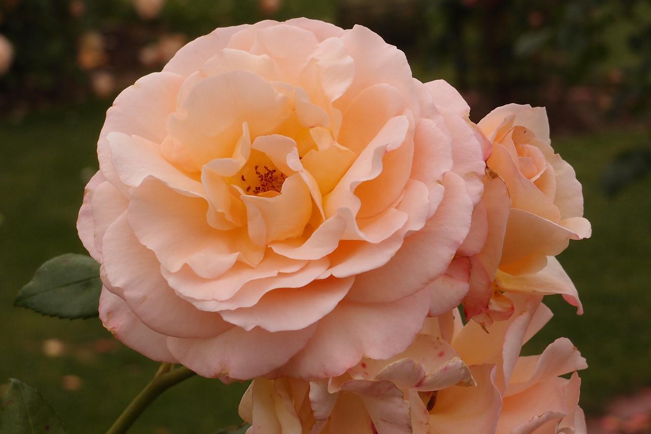20121117_1016_7172 rose