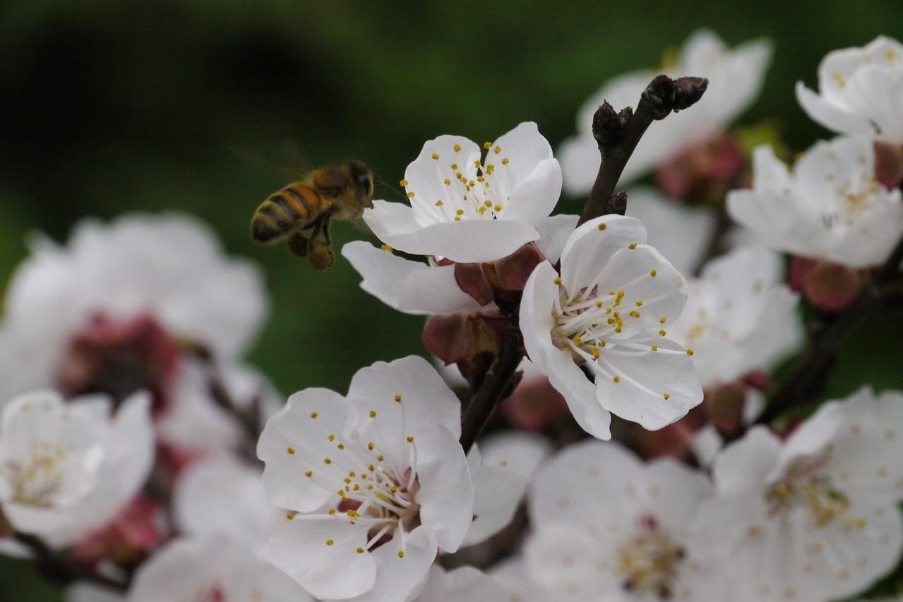 20120905_0806_3083 apricot blossom