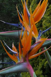 20121120_0653_5064 bird of paradise