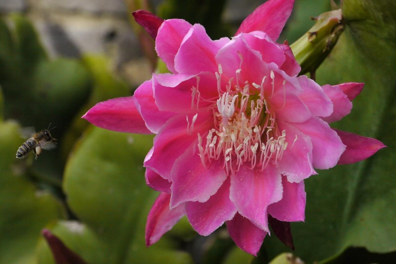 20121124_0740_5657 昙花 epiphyllum and bee