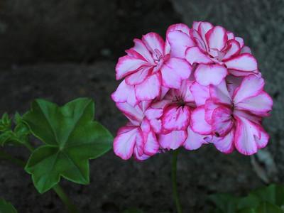 20121025_0709_4160 geranium