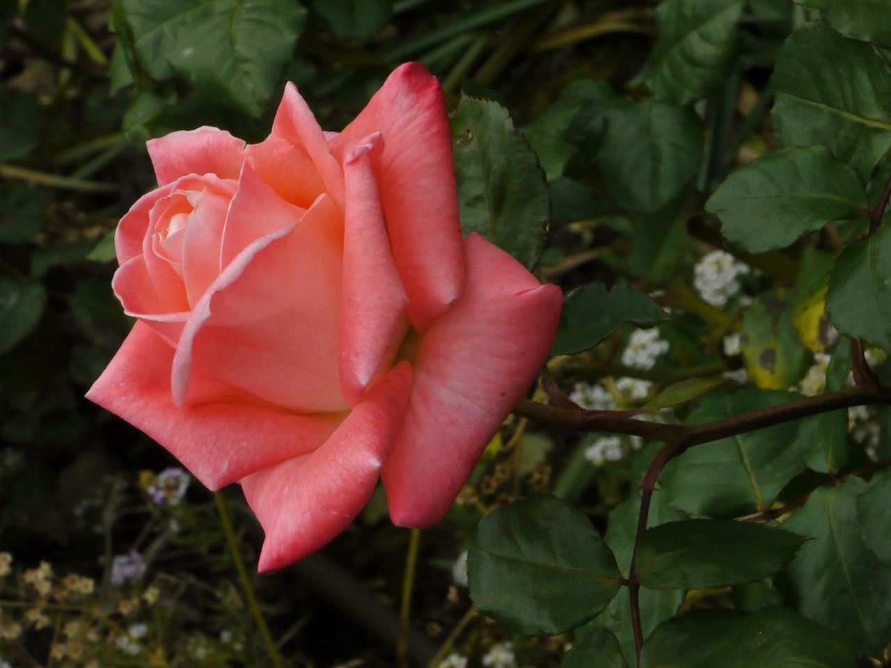20121028_0825_4320 rose