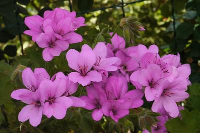 20121110_0857_4547 geranium