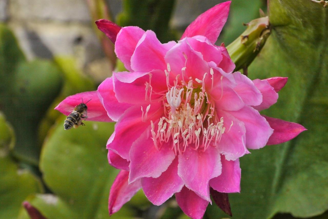 20121124_0740_5655 epiphyllum 昙花 and bee