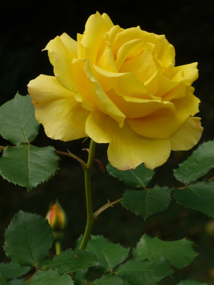 20121019_1201_4108 rose