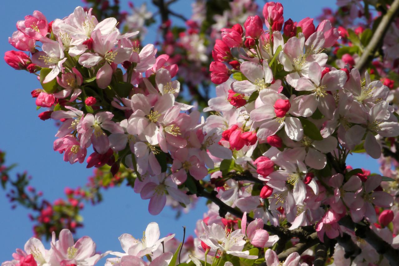 20120911_0814_3194 crabapple blossom