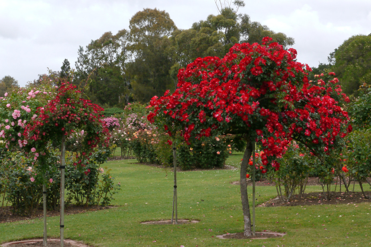 20121117_1011_4800 roses, State Rose Garden, Werribee