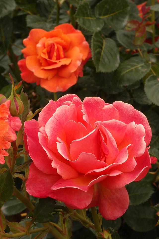 20121117_0952_7164 rose
