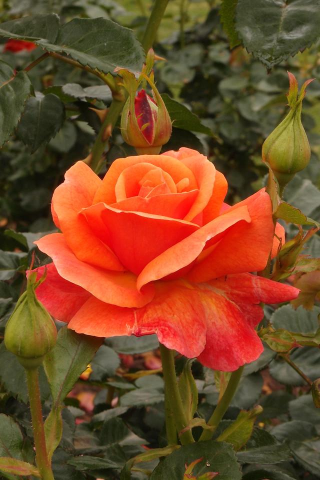 20121117_0954_7165 rose