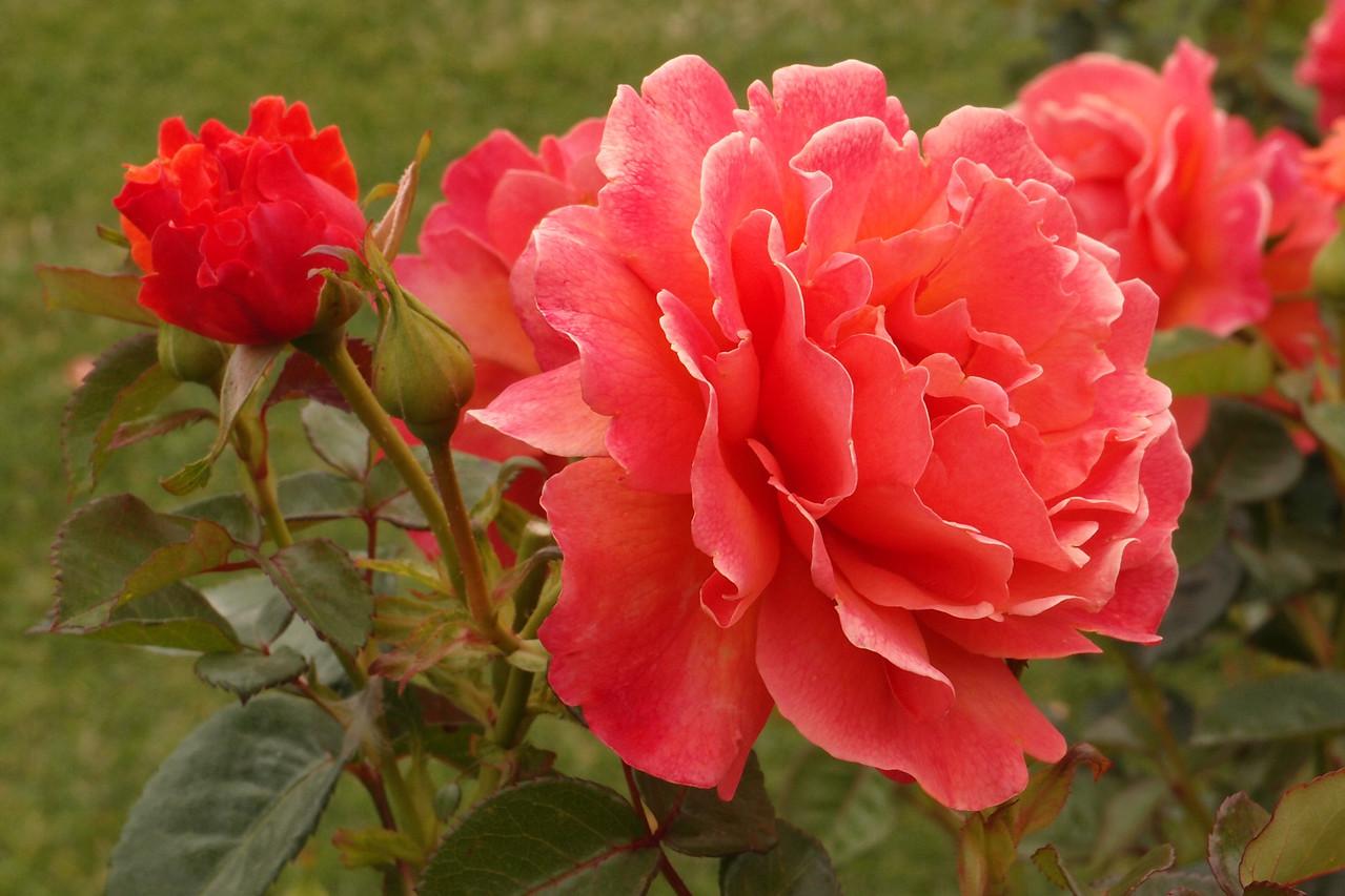 20121117_0950_7162 rose