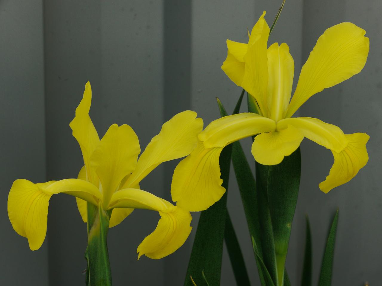 20121018_0910_4080 dutch iris