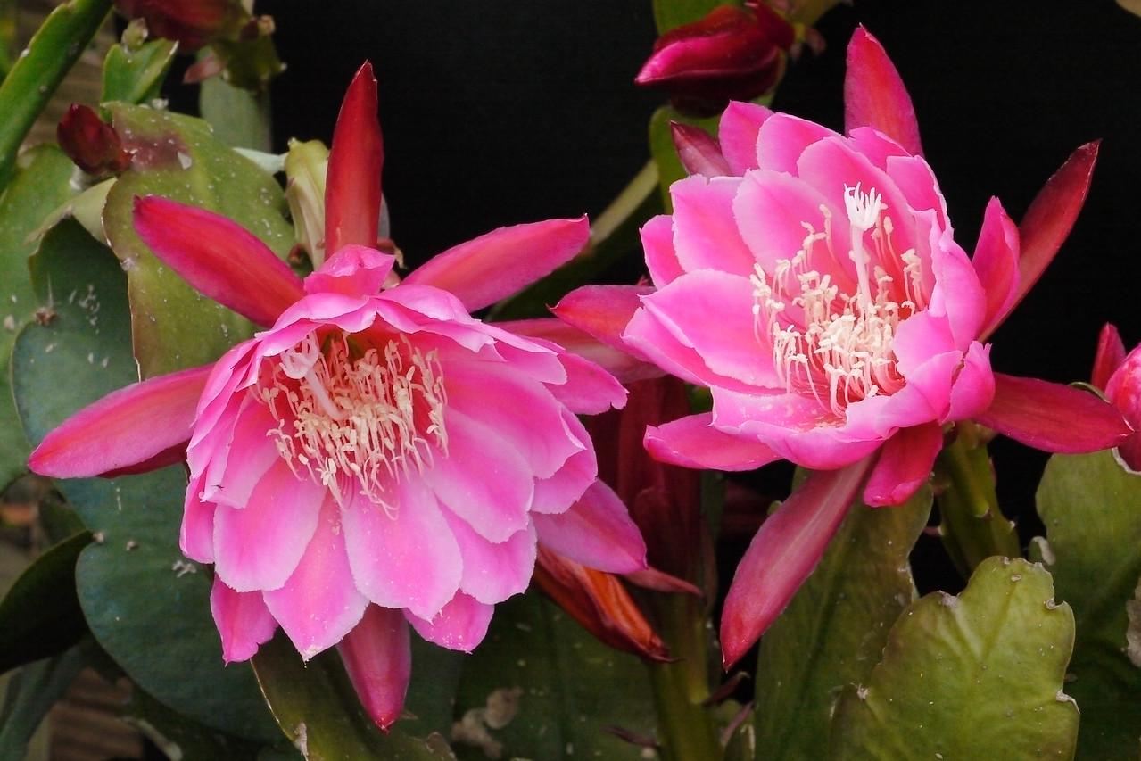 20121117_1631_4925 epiphyllum