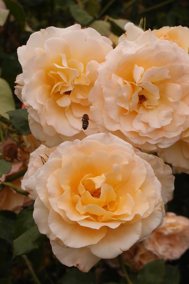 20121117_1005_7171 roses
