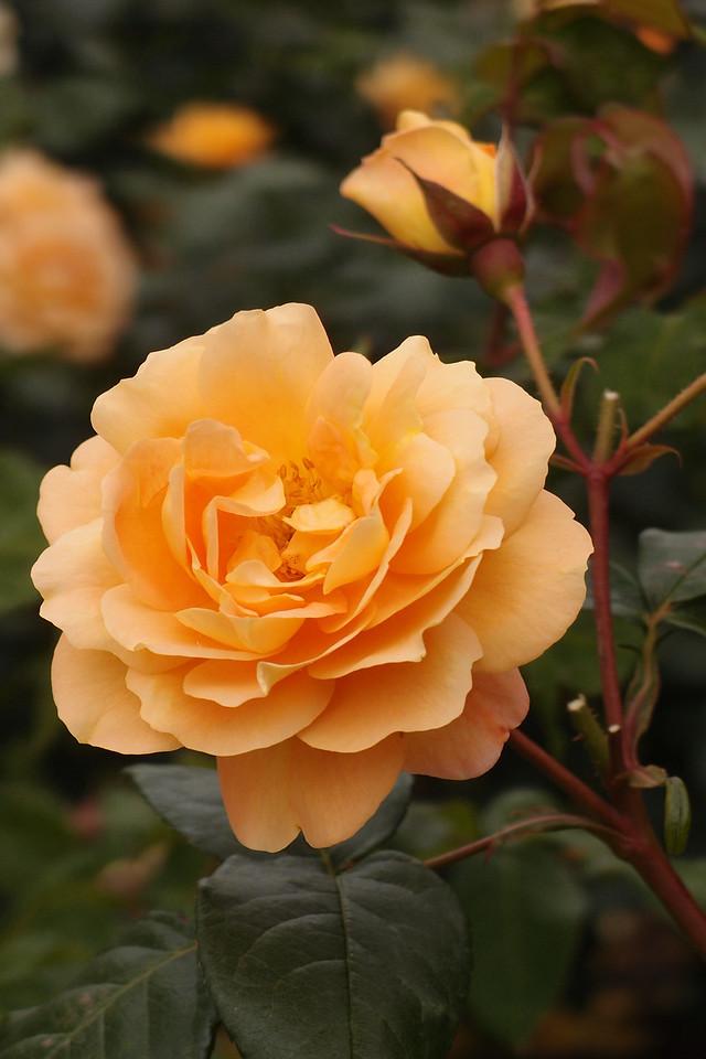 20121117_1020_7184 rose