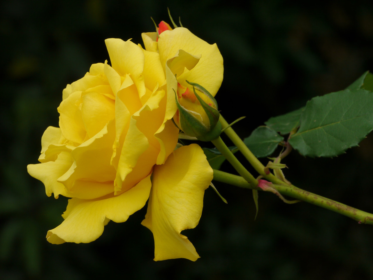 20121015_1208_3974 rose