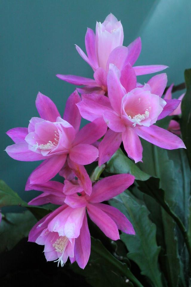 20121116_1634_4756 epiphyllum