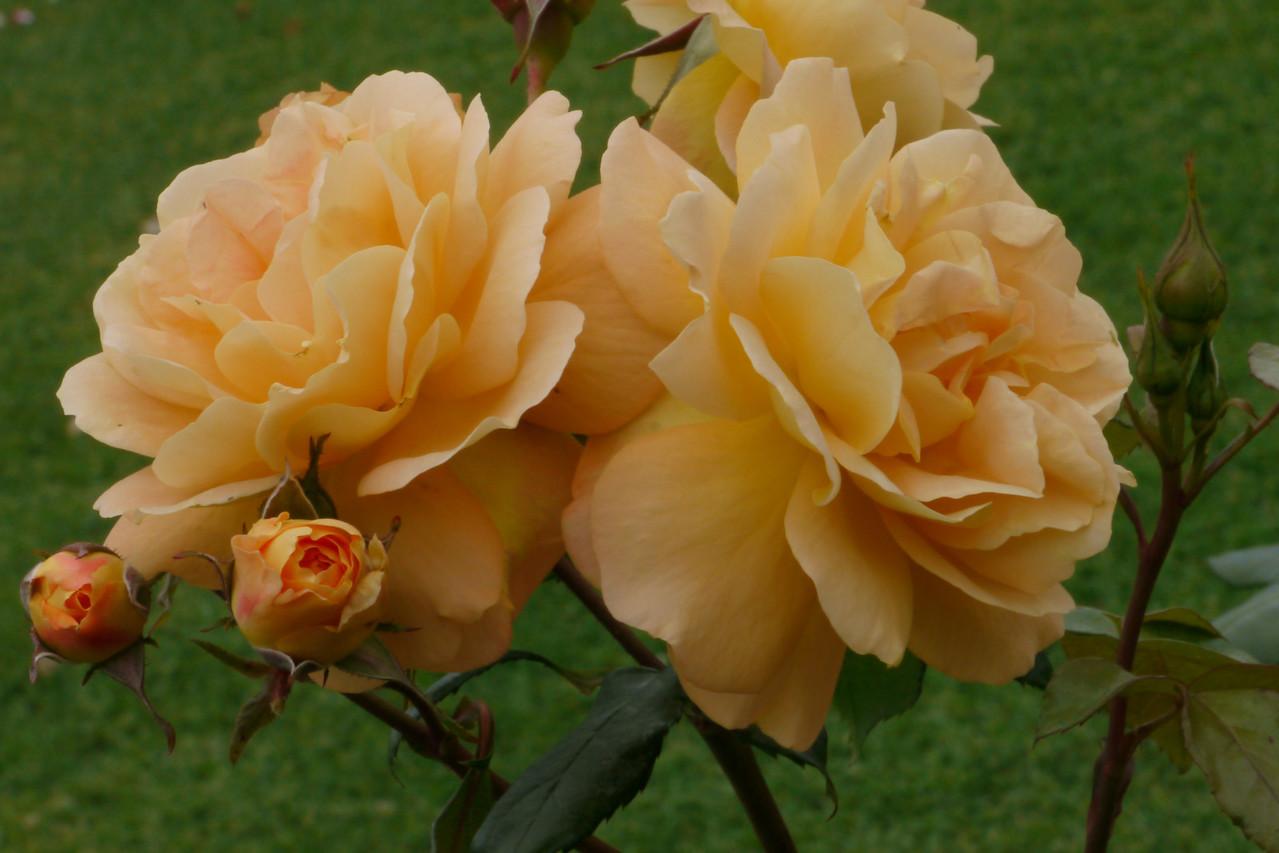 20121117_1002_4798 rose