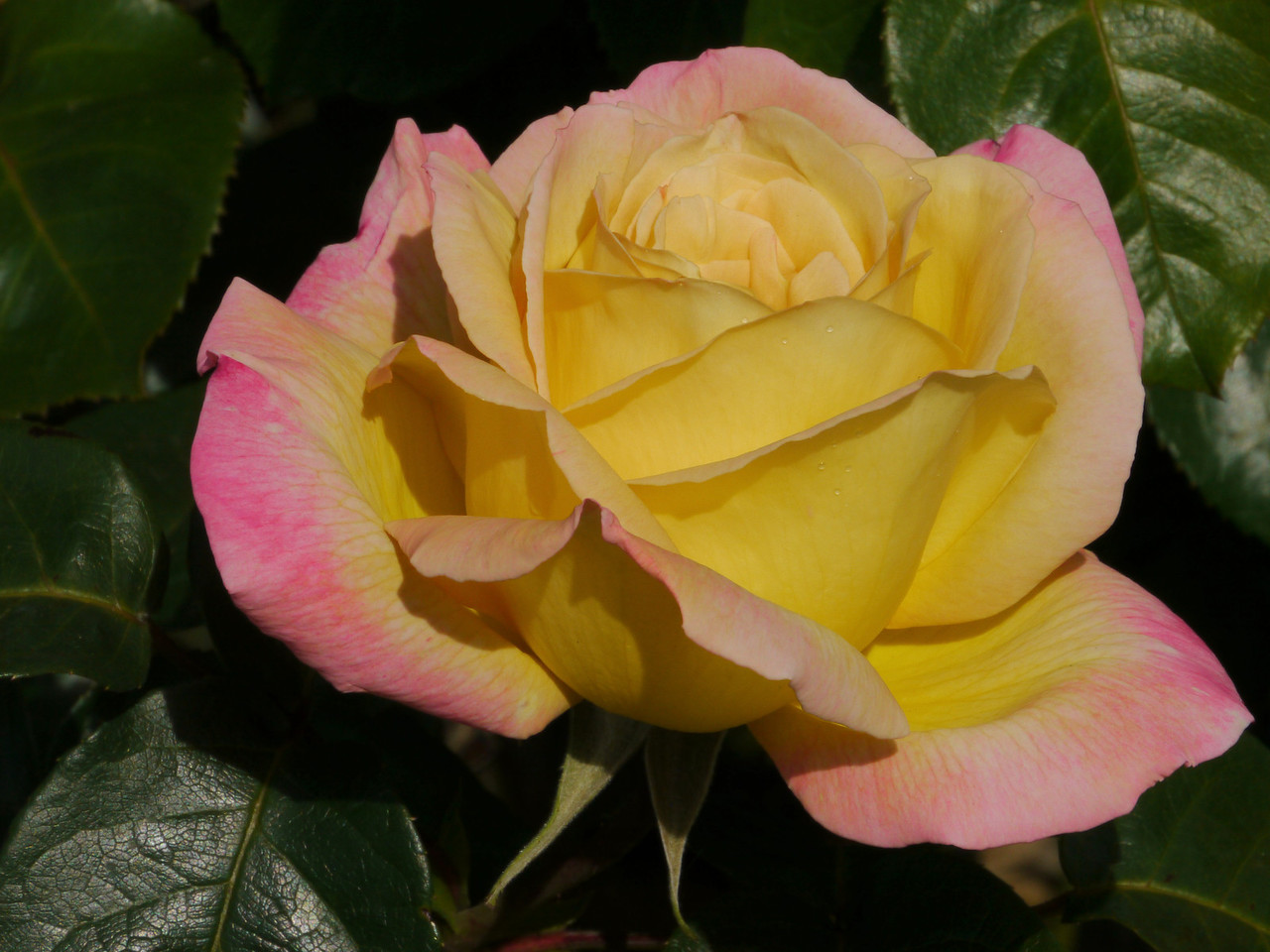 20121018_0902_4077 rose