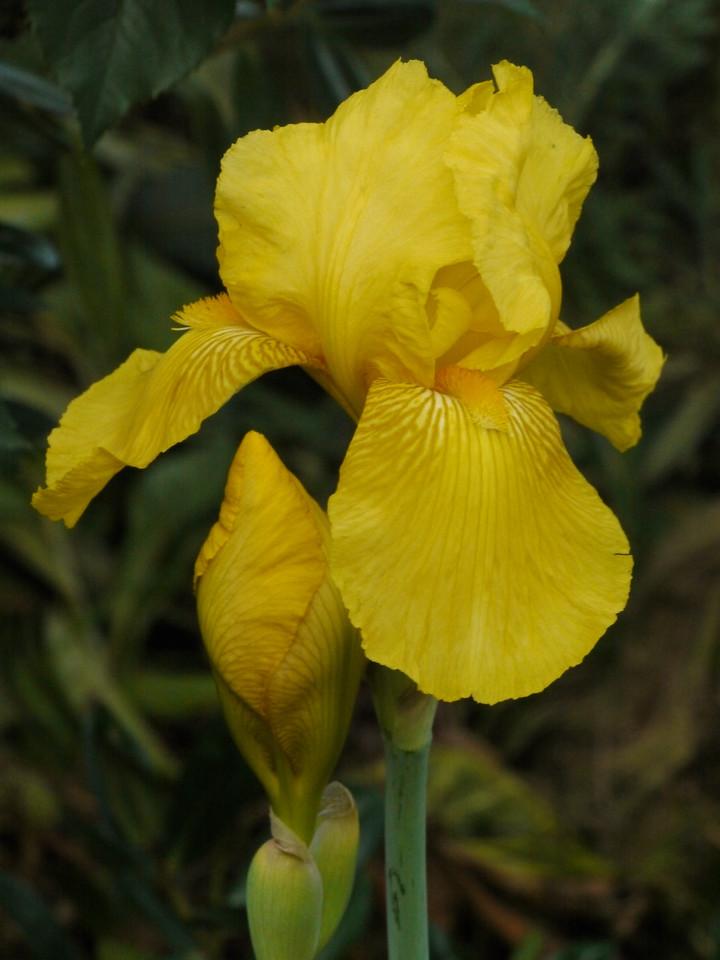 20121026_0654_4215 iris