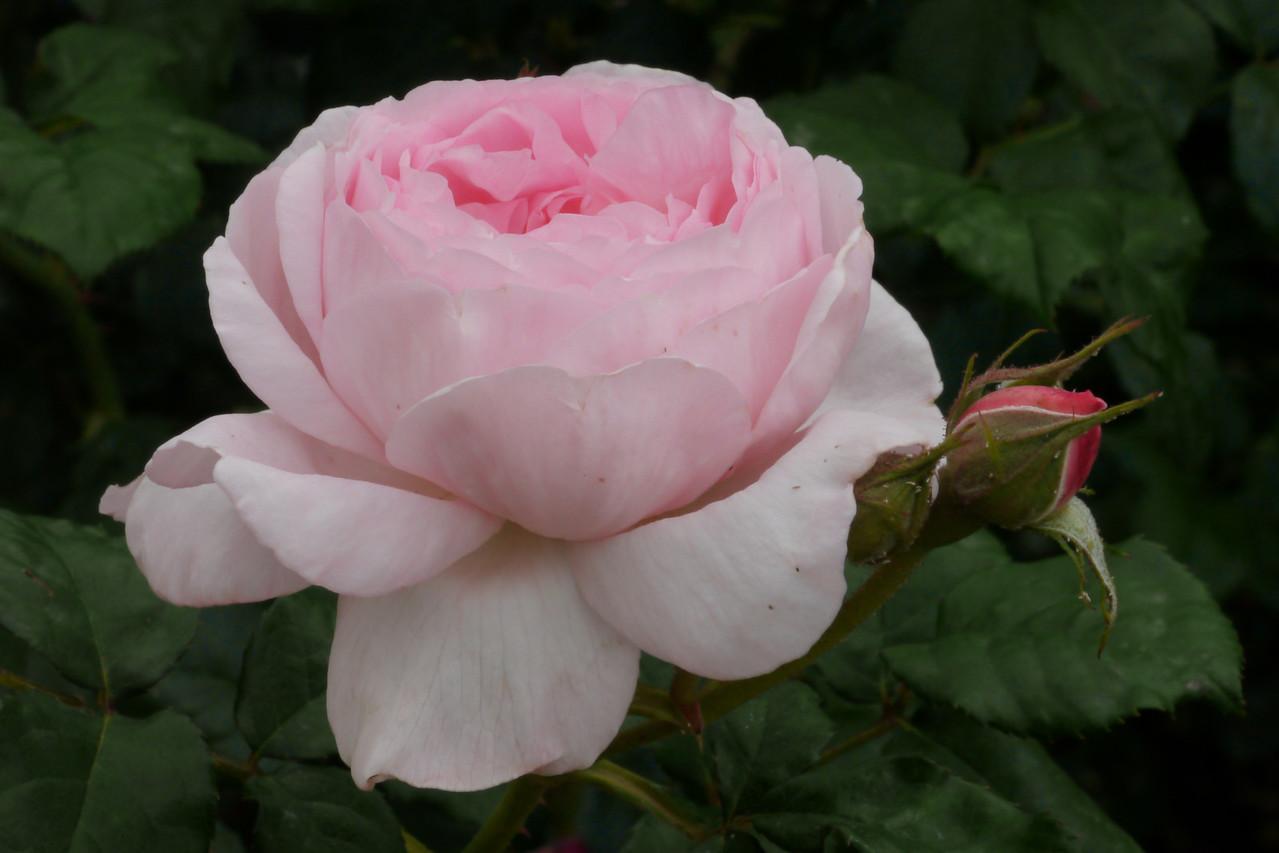 20121117_1111_4839 rose