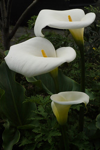 20120905_1000_3117 arum lily
