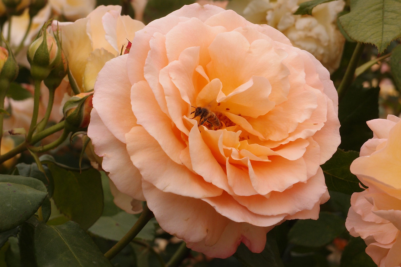 20121117_1004_7170 rose