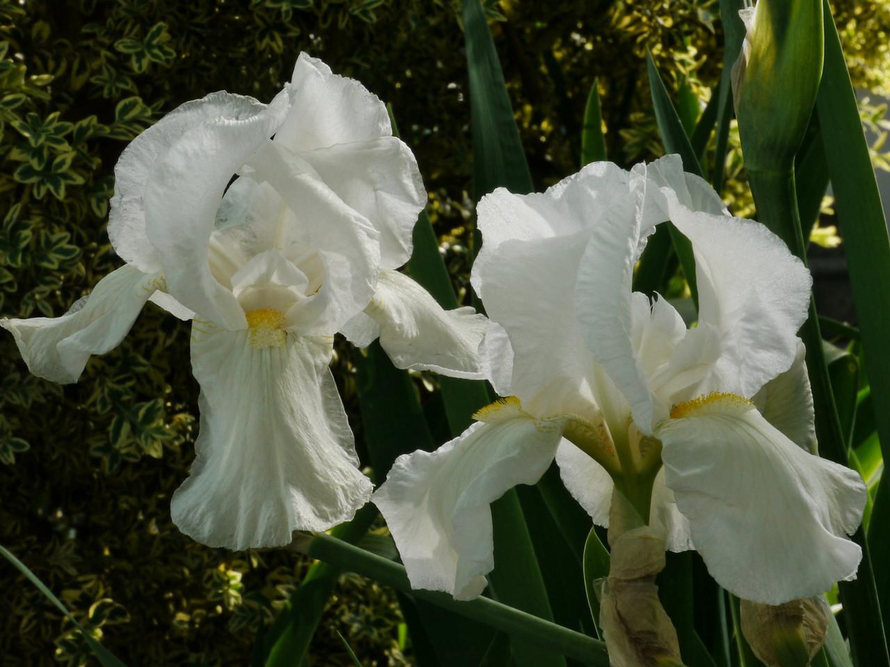 20121018_0842_4055 iris