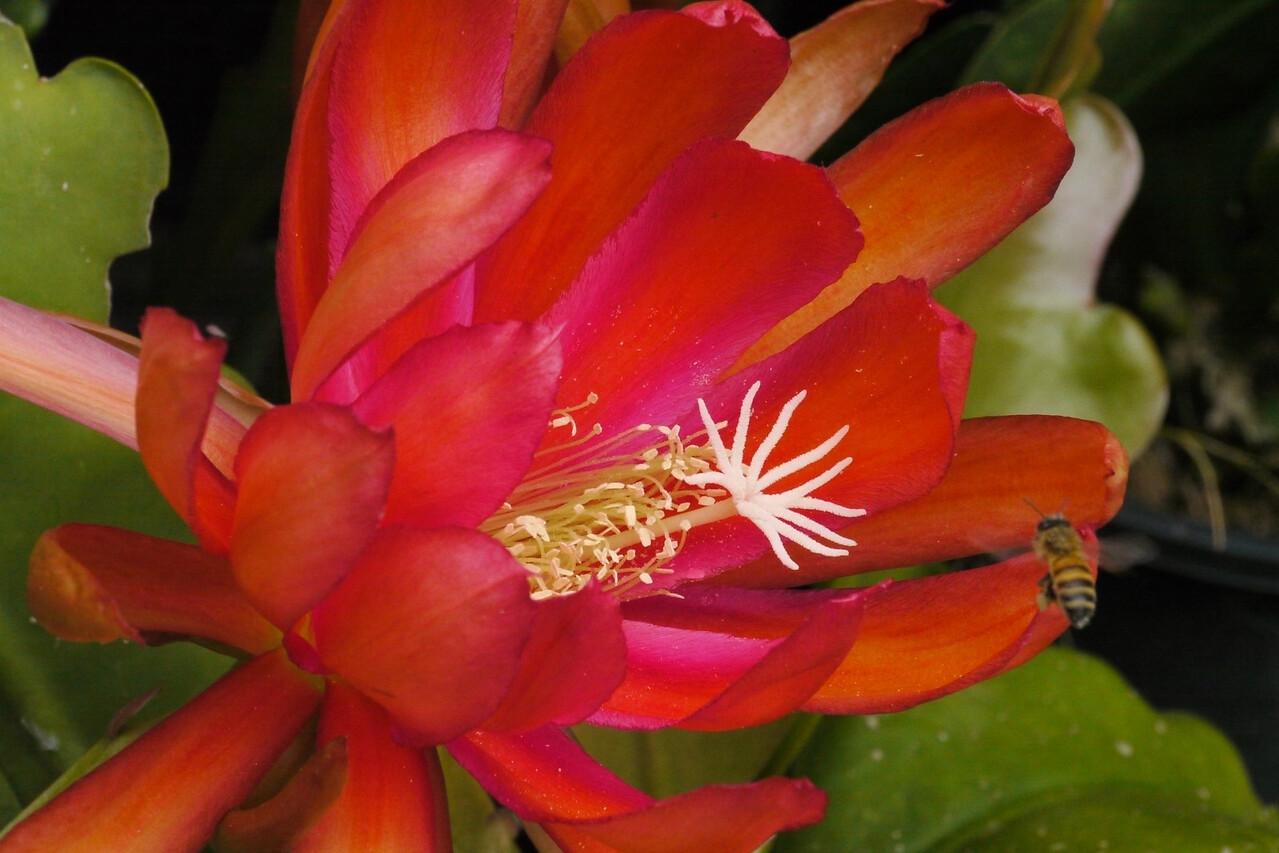 20121121_0957_5316 epiphyllum 昙花 and bee