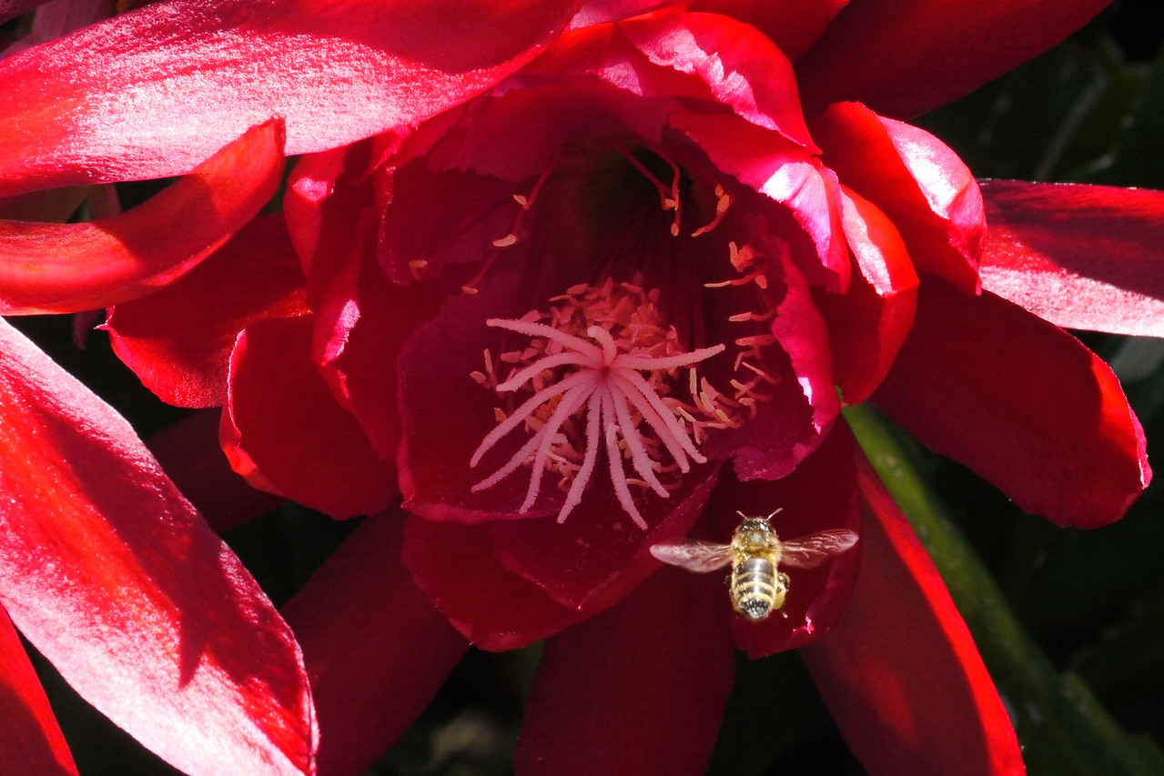 20121123_1144_5628 bee and epiphyllum