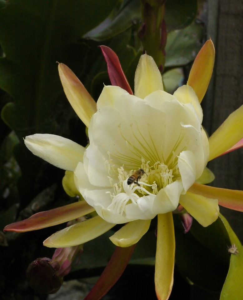20131125_1541_5894 bee and epiphyllum