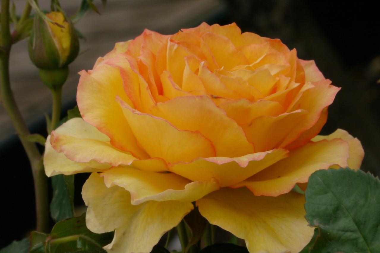 20121117_1253_4898 rose