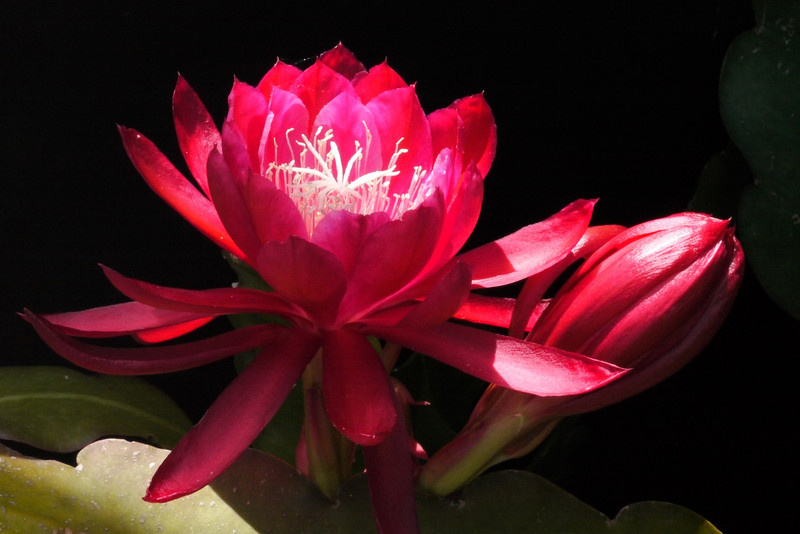 20121125_1322_5878 epiphyllum (Dracula)