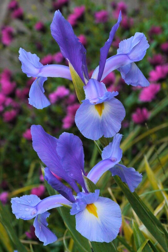 20120929_0652_3797  iris
